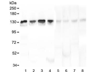 Leucyl tRNA synthetase Antibody / LARS