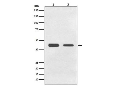 GDF11 Antibody / BMP11 (Rabbit Monoclonal)
