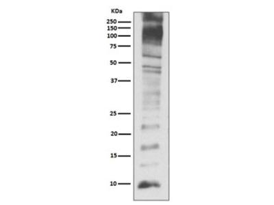Ubiquitin Antibody (Rabbit Monoclonal)