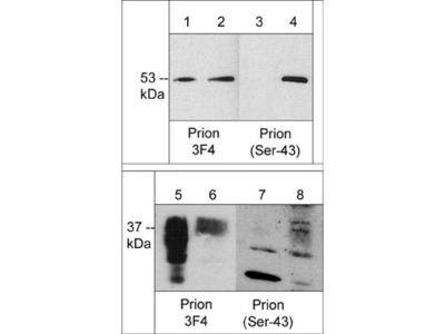 Prion Protein (a.a. 109-112) Antibody