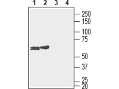 Anti-Connexin-29 (extracellular) Antibody
