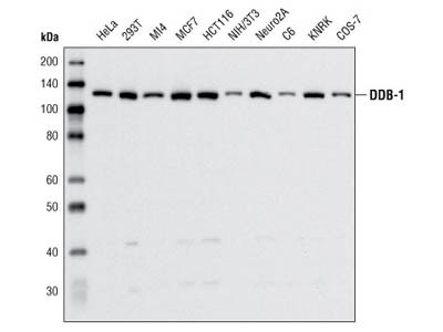 DDB-1 Antibody
