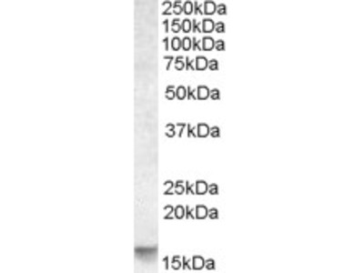 PMAIP1 / NOXA Antibody