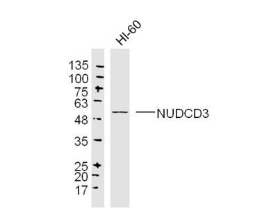 Anti-NUDCD3 antibody