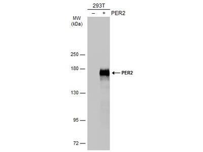 Anti-PER2 antibody