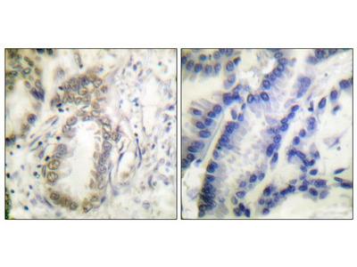 Anti-C/EBP alpha (phospho Ser21) antibody