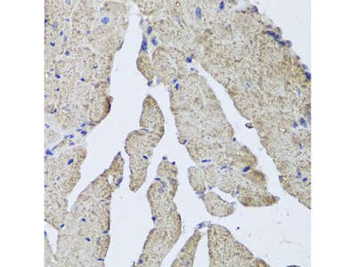 Anti-Hemoglobin alpha 2 antibody