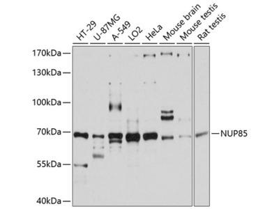Anti-Pericentrin 1 antibody