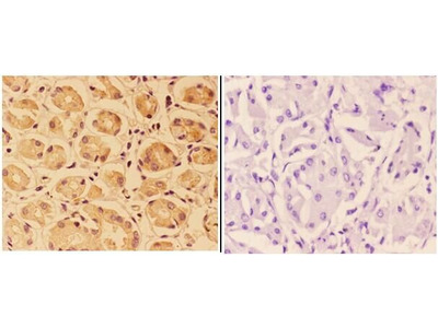 Anti-PTPRO antibody