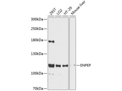 Anti-Aminopeptidase A antibody