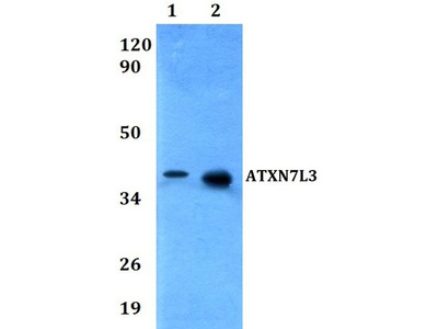 Anti-ATXN7L3 antibody