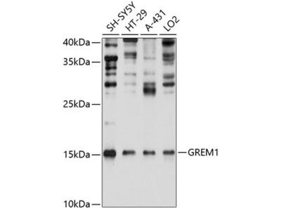 Anti-Gremlin 1 antibody