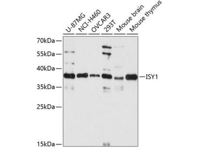 Anti-ISY1 antibody