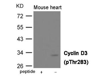 Anti-Cyclin D3 (phospho Thr283) antibody