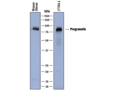 Progranulin / PGRN Antibody