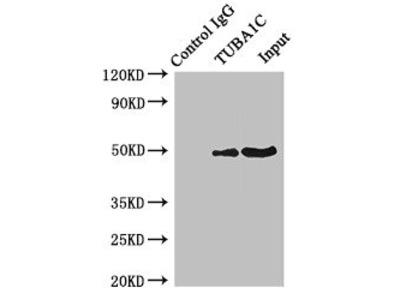 Tubulin Alpha 1C (TUBA1C) Antibody