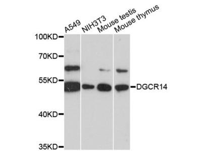 DGCR14 Polyclonal Antibody