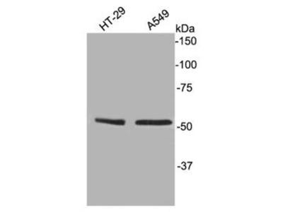 TFCP2L1 Polyclonal Antibody