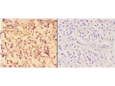 c-Abl Polyclonal Antibody
