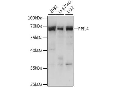 PPIL4 Antibody