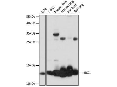 Hemoglobin gamma A Polyclonal Antibody