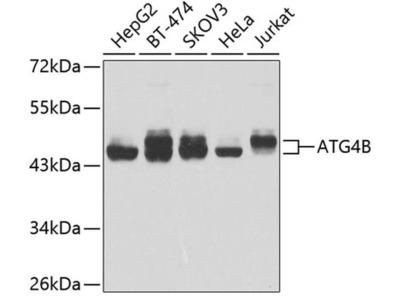 ATG4B Antibody
