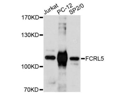 FcRL5 Polyclonal Antibody