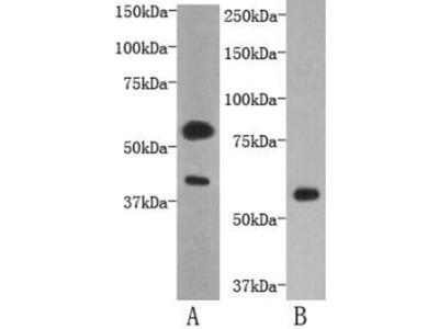 TMEM57 Antibody