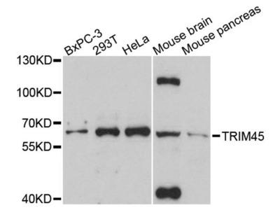 TRIM45 Antibody