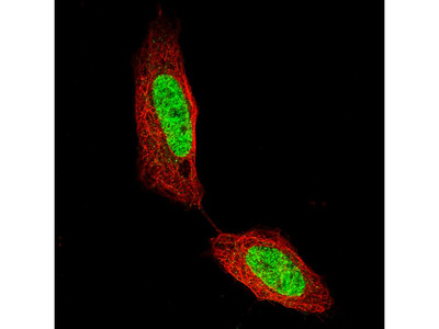 CUX1 Monoclonal Antibody (CL5275)