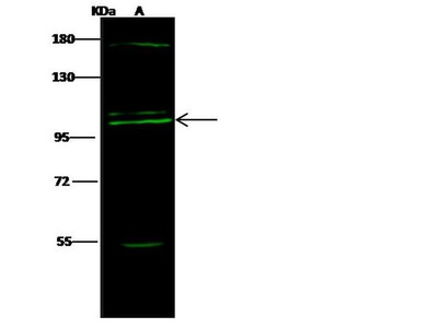 COPG Antibody
