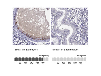 SPINT4 Polyclonal Antibody