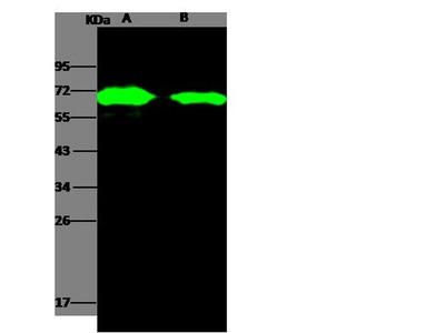 AcmNPV gp64 Polyclonal Antibody