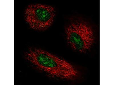 GPR137 Polyclonal Antibody