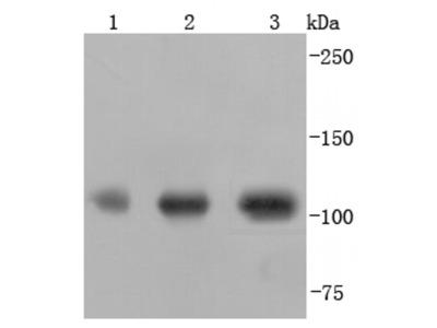 PGC1 alpha/beta Recombinant Rabbit Monoclonal Antibody (JF09-71)
