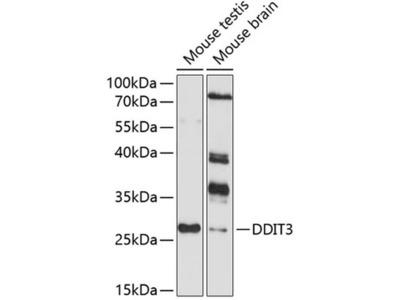 CHOP Polyclonal Antibody