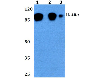 IL4R Polyclonal Antibody