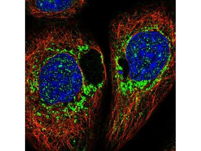 DAP Polyclonal Antibody