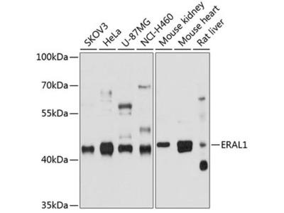 ERAL1 Polyclonal Antibody