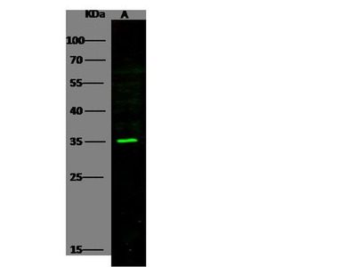 PILRA Polyclonal Antibody