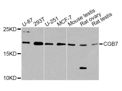 hCG beta-7 Polyclonal Antibody