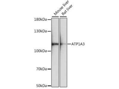 ATP1A3 Polyclonal Antibody