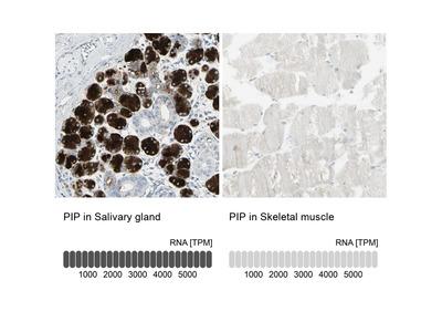 GCDFP-15 Polyclonal Antibody