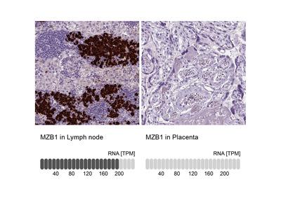 MZB1 Polyclonal Antibody