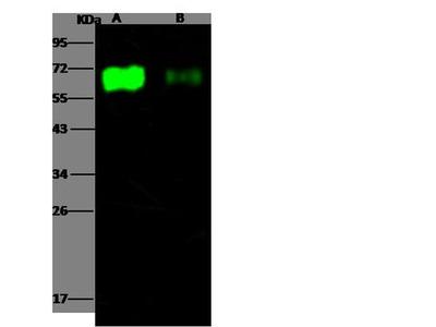 Influenza A H3N2 HA1 (A/Aichi/2/1968) Antibody