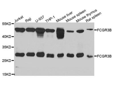 CD16 Polyclonal Antibody