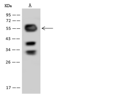 SKA3 Antibody, Rabbit PAb, Antigen Affinity Purified