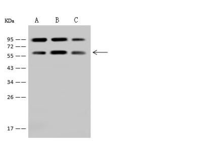 LSM14A Antibody, Rabbit PAb, Antigen Affinity Purified