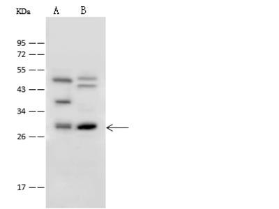 CHOP/DDIT3 Antibody, Rabbit PAb, Antigen Affinity Purified