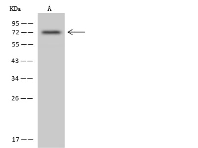 RRN3 Antibody, Rabbit PAb, Antigen Affinity Purified